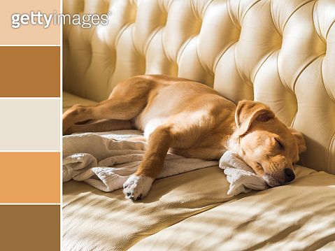Golden puppy sleeping on leather sofa. Color swatch