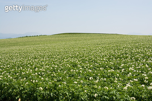 Potato field with white flowers