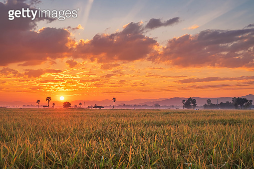 The sunset on the rice field
