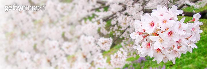 Cherry tree blossom, spring panoramic background