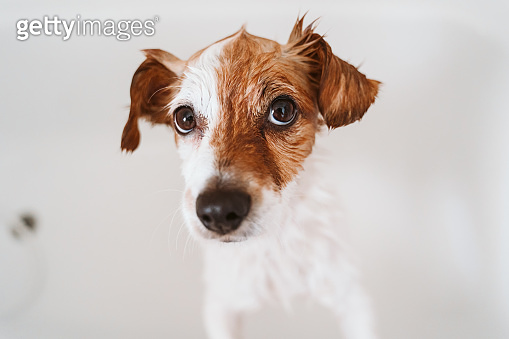 cute lovely small dog wet in bathtub, clean dog. Pets indoors