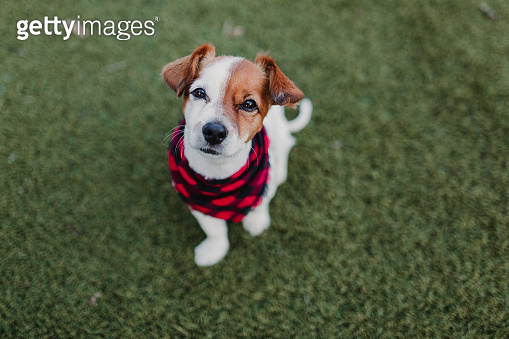 Beautiful portrait of Stylish dog with red and black plaid bandanna sitting on the grass and looking at the camera. Pets outdoors. Modern lifestyle