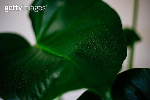 Water drops on monstera leaf