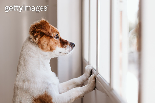 Jack russell dog at home looking by the window searching or waiting for his owner. Pets indoors