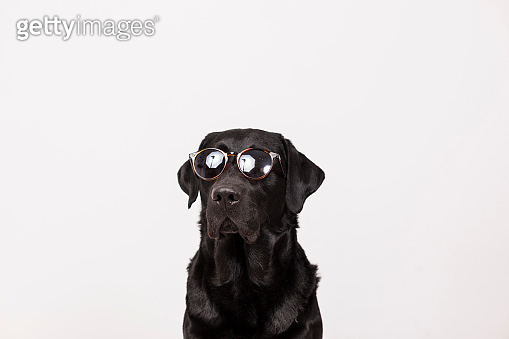 portrait of a beautiful black labrador wearing modern sunglasses. White background. Pets indoors, home or studio, lifestyle. Summer.