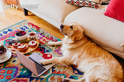 adorable golden retriever dog lying on the floor on a colorful carpet. healthy breakfast besides. working on laptop
