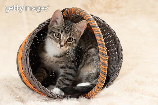Cute gray tabby kitten sits in a wicker basket on a background of a cream fur blanket
