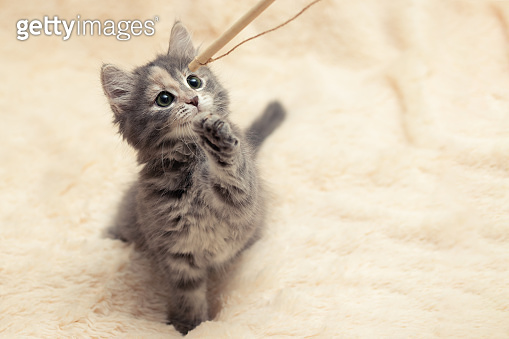 Gray kitten plays on a fur blanket with a toy on a rope, copy space