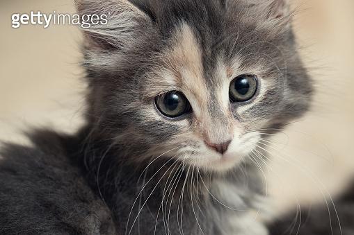 Cute gray kitten lies on a fluffy cream fur blanket, close-up portrait