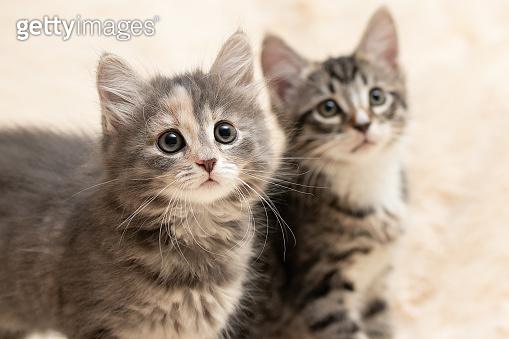 Two cute kittens on a cream fluffy fur blanket