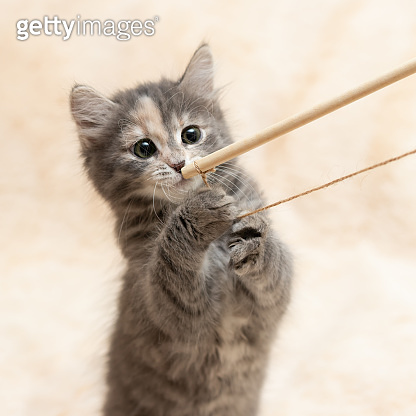 Gray kitten plays on a fur blanket with a toy on a rope