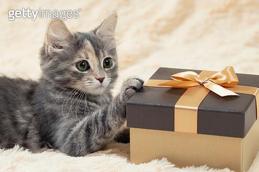 Cute fluffy gray kitten lies on a cream fur plaid next to a golden gift box, close up
