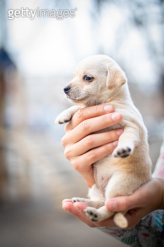 Little dog (puppy) in the hands