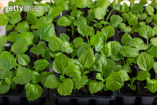 Aster flower seedlings in a black tray on white background. Springtime, gardening concept.