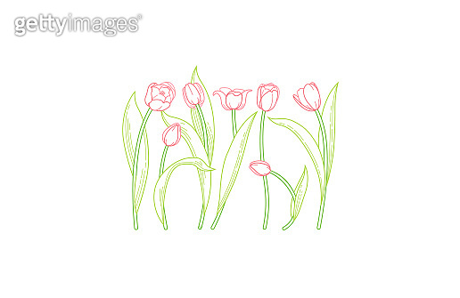 Vector line art set of tulips, spring flowers. Tulip flower