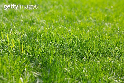 Natural bright green grass. Lawn backyard texture background
