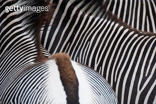 Close-up of a zebras bottom