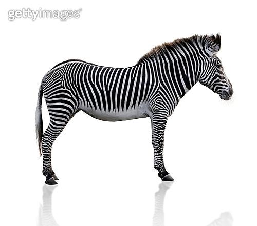 Zebra Animal  On White Background