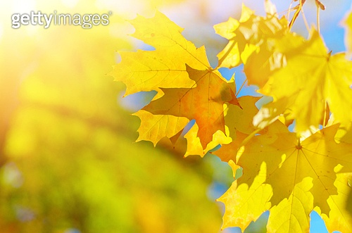 Maple leaves over bright fall background