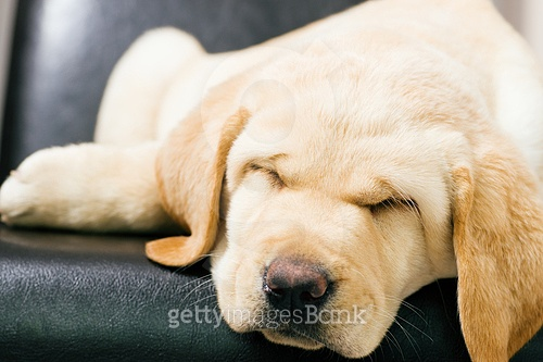 Cute Labrador Retriever puppy sleeping on a chair