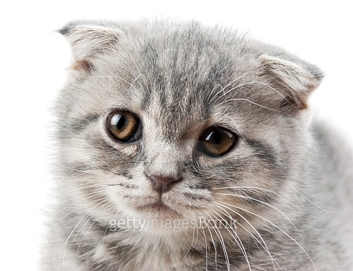 British kitten isolated on white background
