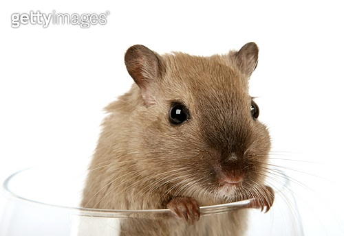 Concept photo of a pet rodent in a wine glass