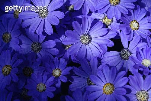 blue posy