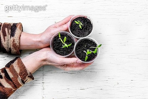 Hands with spring plants. Arm with sprouted spring flowers for garden
