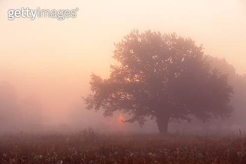 Picturesque autumn landscape misty dawn in an oak grove on the meadow. Oak Tree in Meadow at Sunrise, Sunbeams breaking through Morning Fog