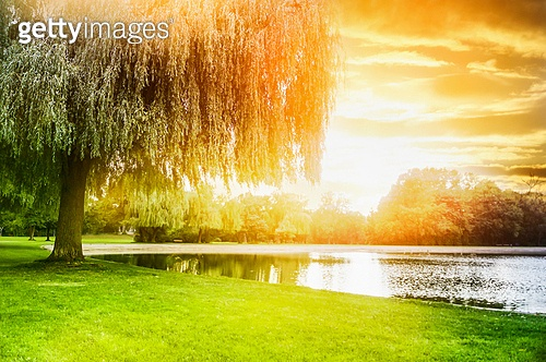 called sallow tree  on the shore of the pond in sunset light