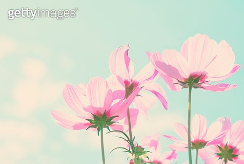 Smmer field with pink fresh cosmos flowers, retro toned. Cosmos pink flowers