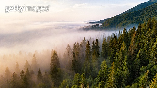Beautiful foggy sunrise in mountains. Sea of fog behind top of the hill. Fir forest in clouds of mist. Carpathian mountains, Ukraine.