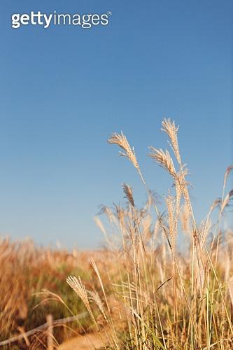가을, 사진, 가을 (계절), Japanese Silver Grass (Ornamental Grass), 갈대, 하늘공원