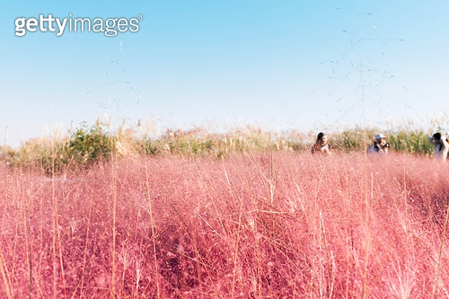 가을, 사진, 가을 (계절), Japanese Silver Grass (Ornamental Grass), 갈대, 하늘공원, 핑크뮬리 (Ornamental Grass)