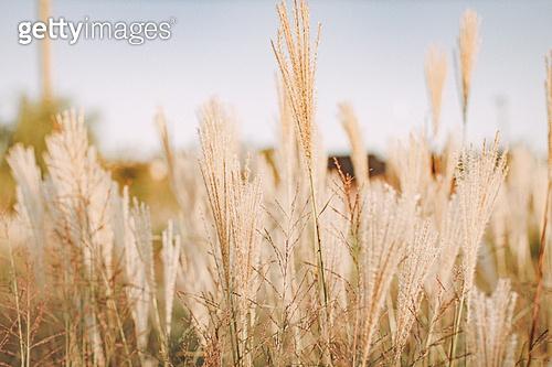 사진, 가을, Japanese Silver Grass (Ornamental Grass), 갈대 (식물), 하늘풍경 (하늘), 감성, 하늘공원