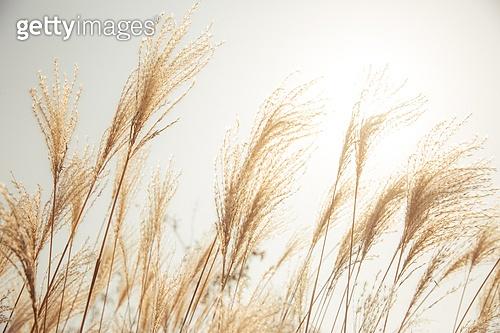 가을, 가을 (계절), 계절, 감성, 풍경 (컨셉), 자연풍경, 감성 (컨셉), 팜파스 (Ornamental Grass), 참억새 (벼과식물), 갈대, 갈대 (벼과식물)