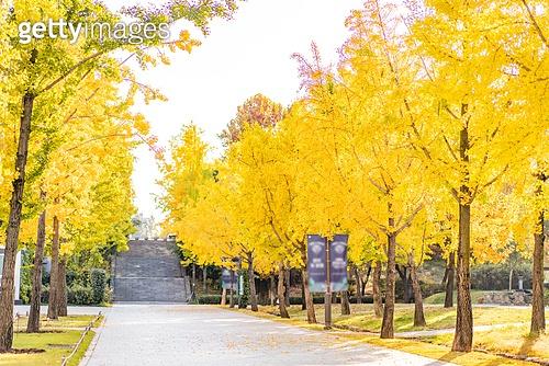 가을, 가을 (계절), 계절, 단풍나무 (낙엽수), 단풍철 (가을), 단풍잎 (잎), 단풍길, 낙엽관목, 낙엽, 은행잎, 은행나무