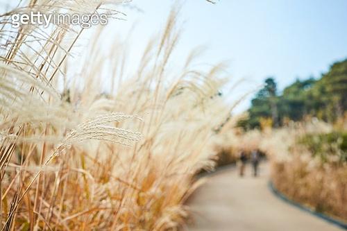 가을, 자연 (주제), 남성, 하이킹 (아웃도어), 여행, 산림욕, 미소, 밝은표정, 걷기 (물리적활동), 갈대