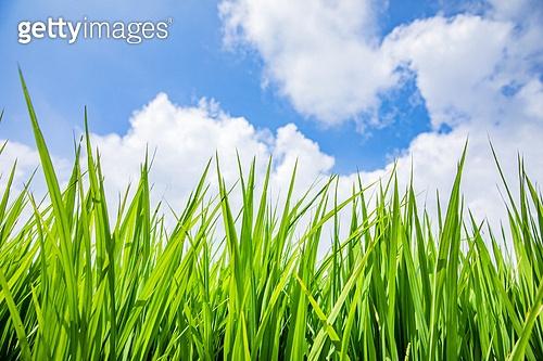 여름, 벼, 벼과식물, 농업 (주제), 농업, 논, 경작지 (육지), 맑은하늘 (하늘), 구름, 날씨
