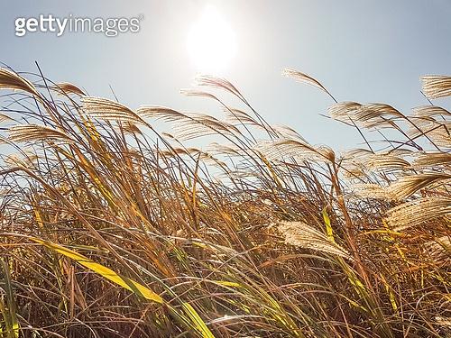 가을, 참억새, 팜파스 (관상용그라스), 갈대