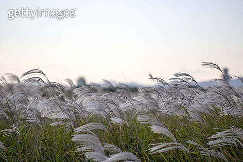 갈대,억새,가을,식물,자연