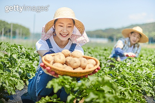 한국인, 귀농, 농업, 농부 (농촌직업), 수확 (움직이는활동), 채소, 채소밭, 농작물, 생감자 (채소)