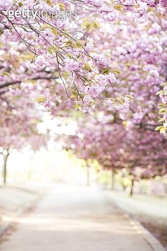 겹벚꽃,벚꽃,벚나무,봄꽃,봄,꽃,식물,경주시,경북,한국,국내여행,
