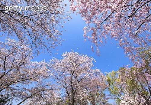 봄,수양벚꽃,벚꽃,나무,벚나무,연지못,풍경,전경,실외,호수,저수지,연못,영산면,창녕군,경남,한국,국내여행,