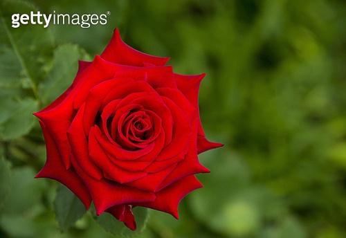 꽃,빨간색,식물,실외,자연,장미,꽃잎,클로즈업,탑앵글