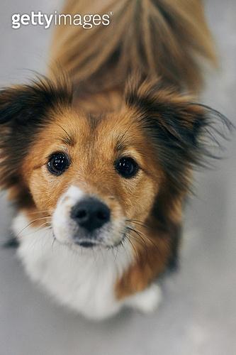강아지, 응시 (감각사용)