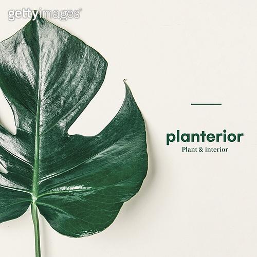 몬스테라, 잎 (식물부분), 식물, 여름