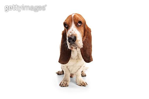 Studio shot of a basset hound dog