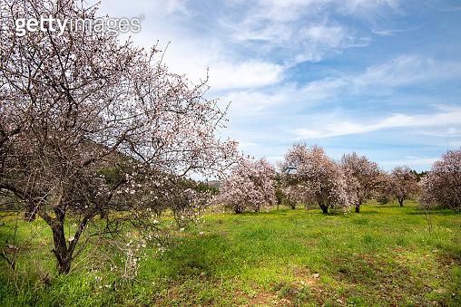 Almond trees bloom in spring against blue sky.