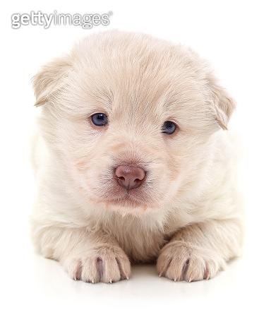 One white puppy.